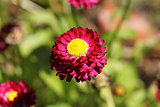 Red bellis perennis