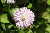 Pink bellis perennis