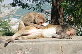 Rhesus macaque grooming its mate