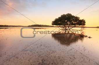 Lone mangrove tree and roots in tidal shallows