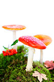Fly agaric or fly Amanita mushroom