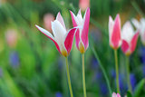 Pink white tulip flower