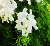 White Wistaria Flower