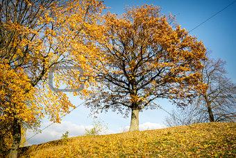Beautiful autumn oak tree