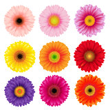 Big Colorful Gerbers Flowers Set