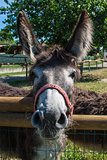 Donkey from the farm
