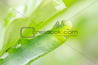 Green worm and leaf