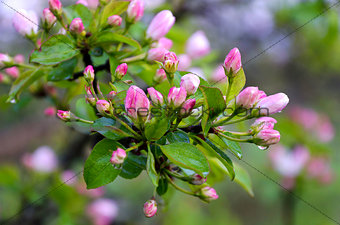 Branch pears with pink flowers in the rain drops
