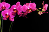 purple orchid on black