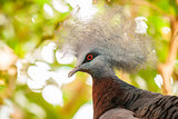 Southern crowned-pigeon, Goura scheepmakeri, single captive