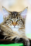 Brown-white tabby Maine Coon cat