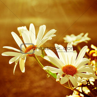 daisies in a sunny day