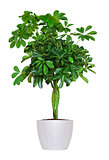 Houseplant - yang Schefflera a potted plant isolated over white