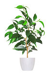 Houseplant - yang sprout of ficus a potted plant isolated over w
