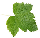 Currant leaf