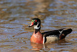Wood duck on the water