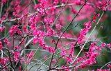 Fuchsia Sakura Blossoms