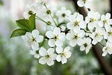 white flowers on cherry branches