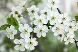 blossoming branches of cherry