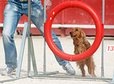 cocker spaniel in agility