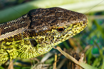 small lizard Lacerta agilis