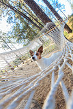 Jack Russell Terrier Relaxing in a Hammock