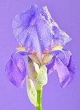 violet gladiola