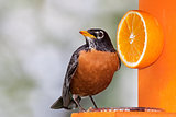 Robin and Orange