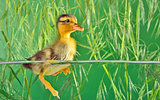 the brown duckling swimming
