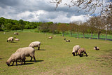 The herd of sheep on spring meadow
