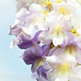 Paulownia Flower