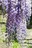 Wistaria Flower