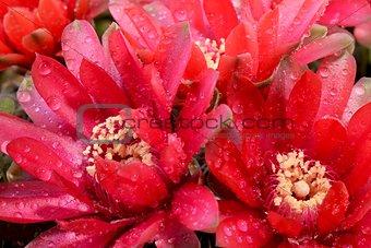 Beautiful gymnocalycium cactus flowers