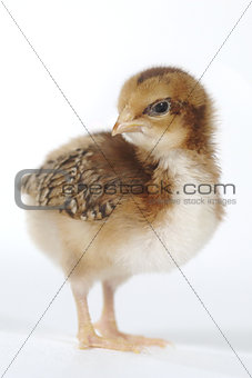 Adorable Baby Chick Chicken on White Background