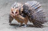 Philippine Eale Owl
