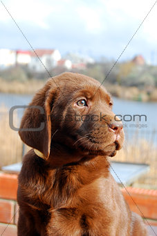 happy chocolate labrador puppy portrait