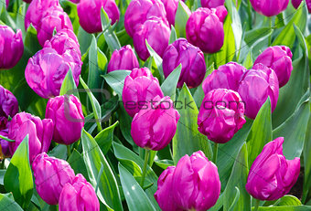 Beautiful purple tulips closeup.