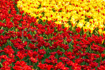 Beautiful red and yellow tulips. Nature background.