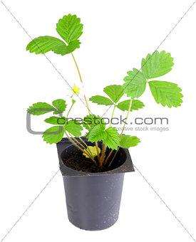 Branch of strawberry