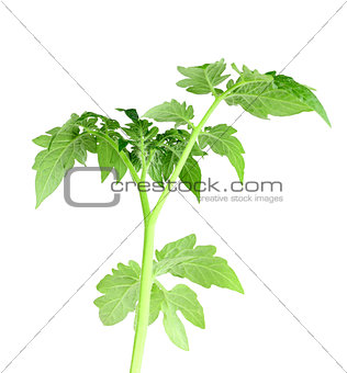 Green leaf of tomato