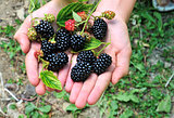 blackberry and hand