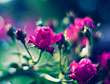 Beautiful floral background. Roses over blurred green backdrop