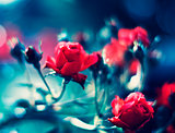Beautiful floral background. Roses over blurred blue backdrop