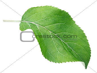 Green apple leaf on white
