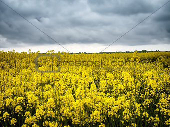 Canola or rapeseed field,