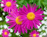 magenta daisies