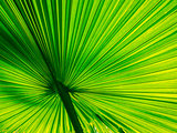 fan palm have beautiful  lines