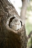 Baby spotted owlet in a tree