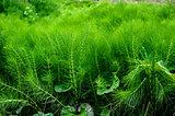 lush green equisetum
