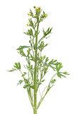 Ranunculus scleratus